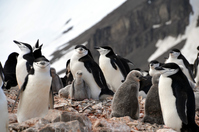 The population of Antarctic penguins beard Stock photo [3828523] Antarctic