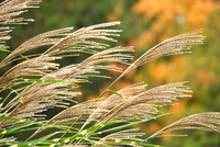Swaying pampas grass Stock photo [3927081] Silver