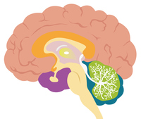 The structure of the brain stock photo