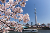 Tokyo Sky Tree and cherry trees Stock photo [4018486] Sky
