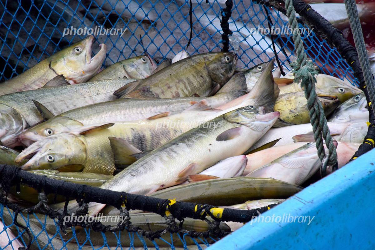 Landings have been Hokkaido salmon Photo