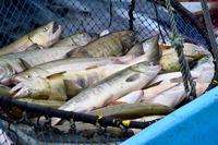 Landings have been Hokkaido salmon Stock photo [4097514] salmon