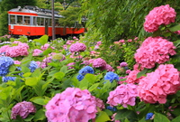 Hakone Tozan Railway and hydrangea Stock photo [4107195] Hakone