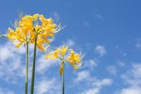 To back the blue sky miasma Sui Sen of the flower Stock photo [4163135] Miasma