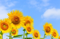 Sunflower and blue sky Stock photo [4164680] Sunflower