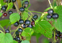 Fruit of the black currant Stock photo [4334863] Blackcurrant