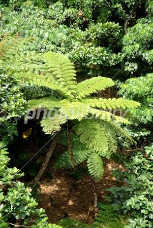 ヒカゲヘゴの画像 p1_4