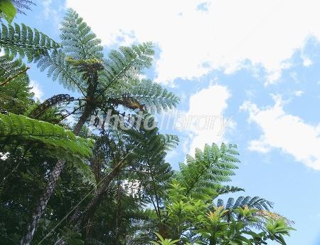ヒカゲヘゴの画像 p1_3
