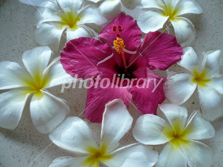 Hibiscus floating in water Photo
