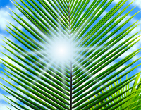 Leaves and the sun of palm Stock photo [141278] Fresh