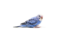 Budgerigar Stock photo [4403649] bird