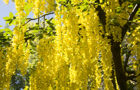 Laburnum Stock photo [4406747] Laburnum