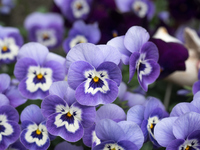 pansy Stock photo [4411827] flower