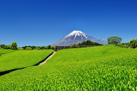Fuji and tea plantations Stock photo [4411774] Fuji