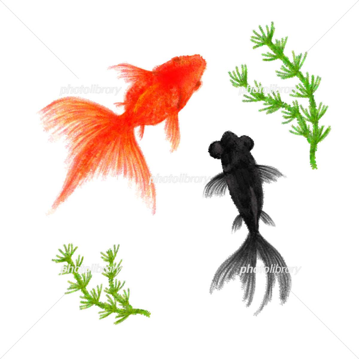 金魚 イラスト素材 4494739 フォトライブラリー Photolibrary