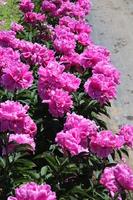 Grand blooming peony Stock photo [4488257] peony