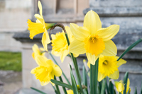 United Kingdom daffodils Stock photo [4491914] narcissus