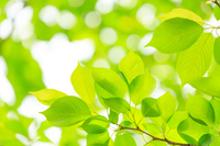 Leaves of fresh green cherry Stock photo [4500497] Verdure