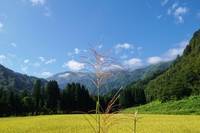 Japanese pampas grass and mountains Stock photo [4639296] Japanese