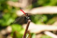 Maikoakane (male) Stock photo [4701277] Dragonfly
