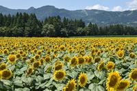 Tsunan sunflower Square Stock photo [4703177] Niigata