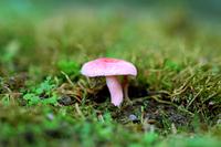 Nioikobenitake Stock photo [4703880] Fungi