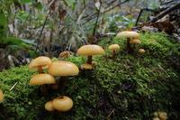 Flammulina velutipes Stock photo [4705077] mushroom