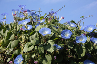 Morning glory dancing in the blue sky Stock photo [4705608] morning