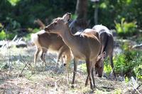 Akune Oshima of wild deer Stock photo [4706484] Akune