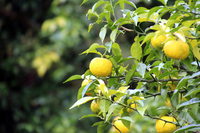 Citron Stock photo [4709715] Citrus