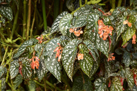 Beautiful begonia leaf Stock photo [4766272] Begonia