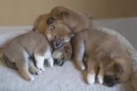 Baby Shiba Inu Stock photo [4769643] dog