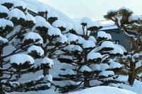 雪が積もったイチイの木
