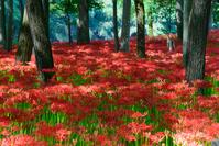 Red spider lily of Saitama Hidaka purse field Stock photo [4963807] Purse