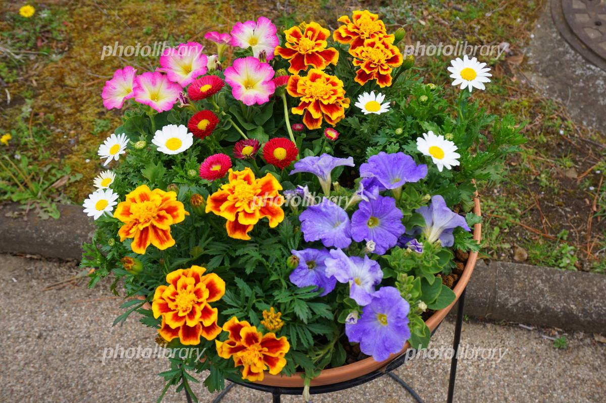 マリーゴールドやデイジーの春のお花の寄せ植え
