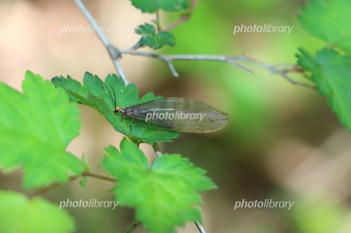 ウスバカゲロウの画像 p1_36