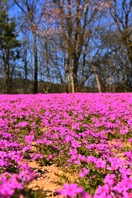 Moss phlox Stock photo [5059617] Moss