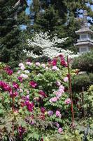 Peony and flower tree and lantern Stock photo [5063931] peony