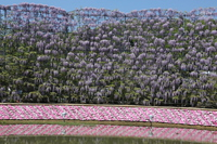 Wisteria trees, flower beds and ponds Stock photo [5066328] Wisteria