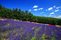 Ayaka village of lavender garden Stock photo [164188] Hokkaido