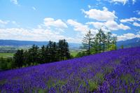 Ayaka village of lavender garden Stock photo [164191] Hokkaido