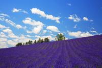 Fields of lavender Stock photo [166189] Hokkaido