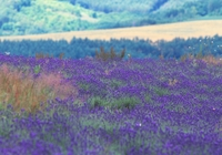Fields of lavender Stock photo [167503] Lavender