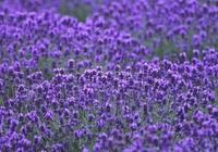 Fields of lavender Stock photo [168022] Lavender