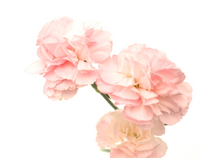 Carnation Stock photo [168210] Carnation