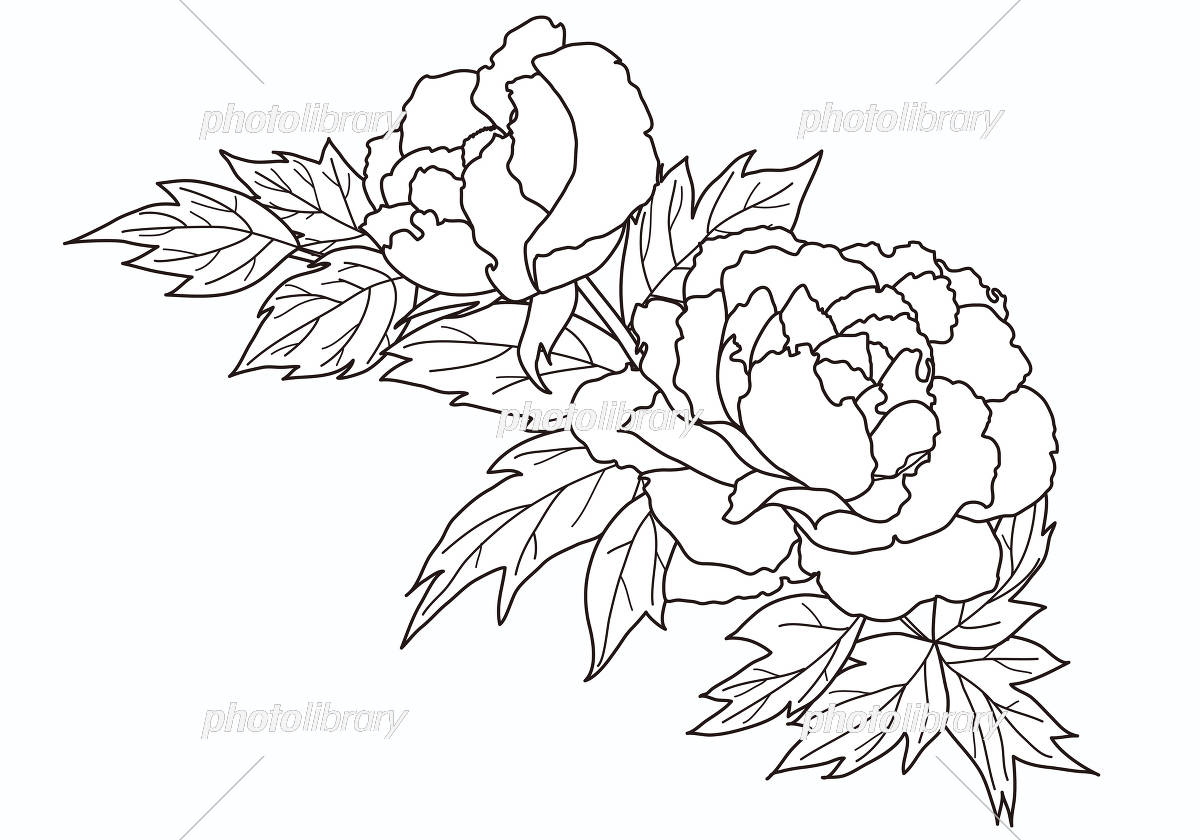 塗り絵にも使える牡丹のイラスト イラスト素材 5343748 フォト