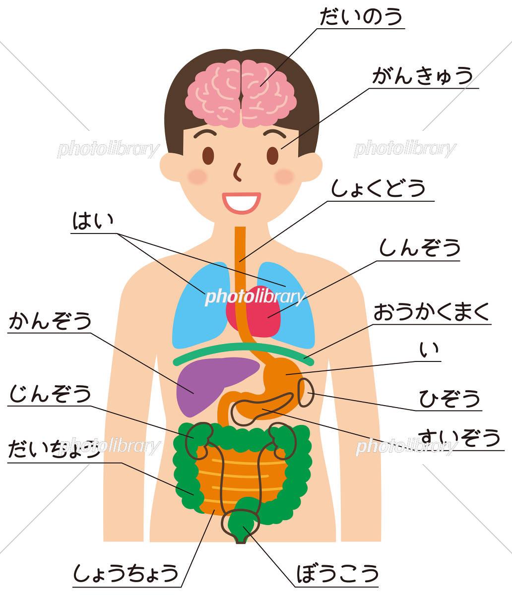 内臓の名前一覧 イラスト素材 5407099 フォトライブラリー
