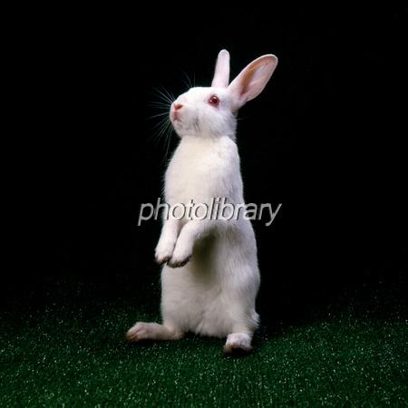 ウサギの画像 p1_34