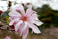 Magnolia stellata Stock photo [208643] Magnolia