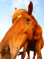 Horse Stock photo [211341] Okinawa
